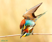 Bee Eater's