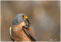 Profile of Lesser Kestrel and Giant Chilopoda