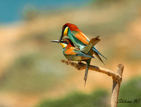 bee-eaters making love
