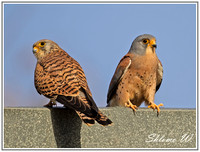 Lesser Kestrel-Pair, Male+Female