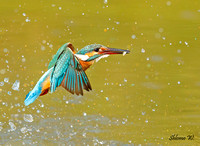 Kingfisher's