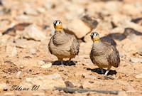 Pair of Crowned Sandgrouse