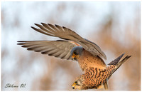 Lesse Kestrel - Love