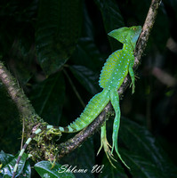 Green Basilisk Lizard-Male