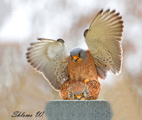 Lesser Kestrel in angel love