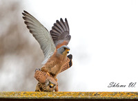 Love of Lesser Kestrel 3