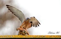Love of Lesser Kestrel 1