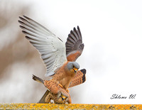 Lesser Kestrel - male and female love action