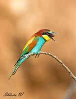 A bee-eater ejects pellet