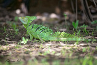Green Basilisk Lizard-Female