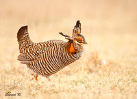 Greater Prairie Chicken